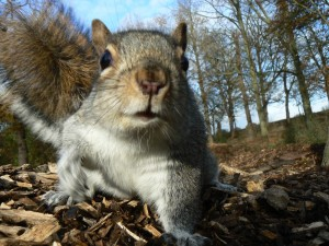 grey squirrel close up  © Neil Phillips 2007