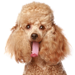 Apricot poodle puppy portrait. Isolated on a white background (studio shoot), via Google Images