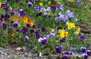 Free-Range Pansies photo credit cjjap copy