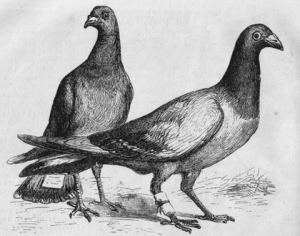 420px-Pigeon_Messengers_(Harper's_Engraving)
