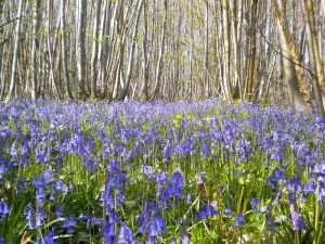 800px-Flexham_coppice_bluebells