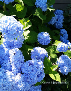 Hydrangea_cropped_July_11_2017_copyright_cjjasperson_2017 copy