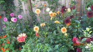 Clementines_Astoria_Dahlia_Garden2019