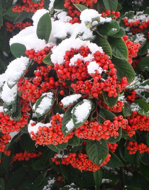 Winter_berries